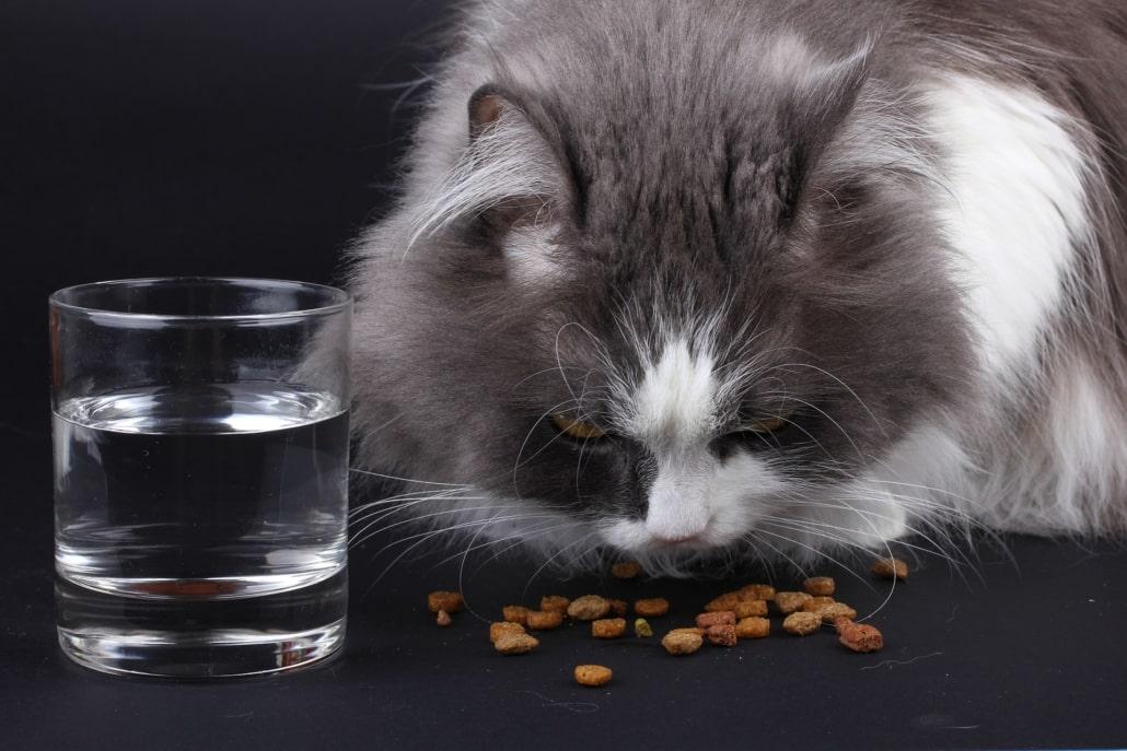 chat qui mange des croquettes