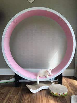 chaton roue rose